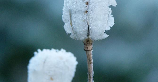 Krolliljans fröställning med rimfrost. Foto: Sylvia Svensson