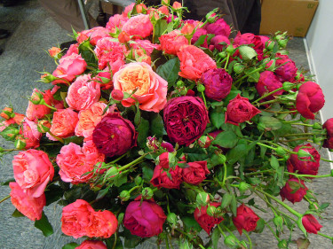 Nyhet på Elmia Garden: Rosen Tantau: 'Ascot' (röd), 'Augusta Luise' (aprikos), 'Bailando' (rosa). Foto: Sylvia Svensson
