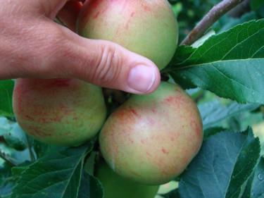 Här blir det bara ett av tre äpplen kvar. Foto: Katarina Kihlberg