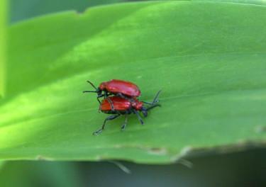 Lite fel tänkt... men dessa vackra liljebaggar vill vi ju inte ha fler av!Foto: Sylvia Svensson