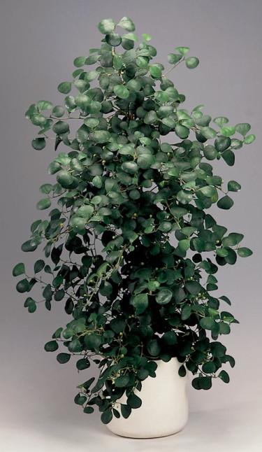 _Ficus deltoidea_, **pillerfikus**