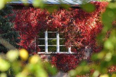 Klättervildvinet, _Parthenocissus quinquefolia_, harmonierar med det vackra fönstret. Foto: Lars Forslin