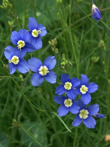 _Heliophila_, utan svenskt namn, är ett släkte inom  kålsläktet _Brassicaceae_ och brukar förekomma i blandade fröpåsar Foto: Sylvia Svensson