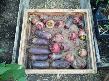 Vinterförvara dina morötter i en stuka.