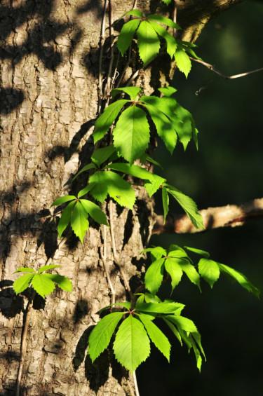 Klättervildvin, _Parthenocissus quinquefolia_, i vacker samklang med trädstammen. Foto: Lars Forslin