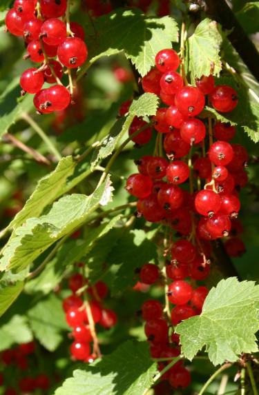 Vinbär − inte bara för dig med trädgård.