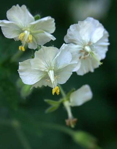 _Geranium phaeum_, 'Album', vitblommande namnsort av brunnäva. Foto: Sylvia Svensson