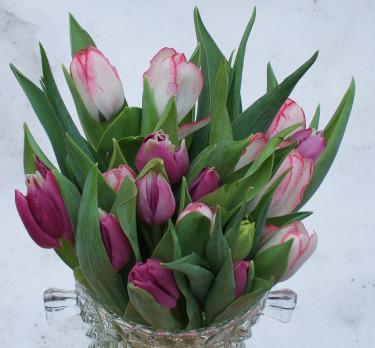 I trädgården blommar sena **tulpaner**... Foto: Sylvia Svensson