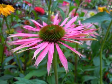 _Echinacea purpurea_ 'Maxima'. Foto: Sylvia Svensson