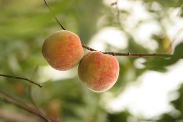 Ett persikoträd på balkongen i stan – varför inte!