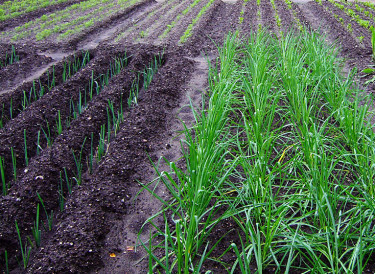 När du har skördat grönsakslandet kan ytan utnyttjas till att jordslå växter. Foto: Sylvia Svensson