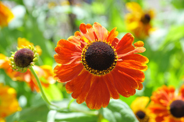 _Helenium_ 'Sahin's Early Flowerer'. Foto: Sylvia Svensson