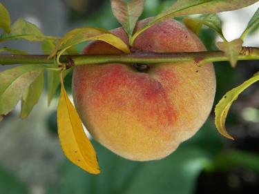 Egna persikor från trädgården! Foto: Sylvia Svensson