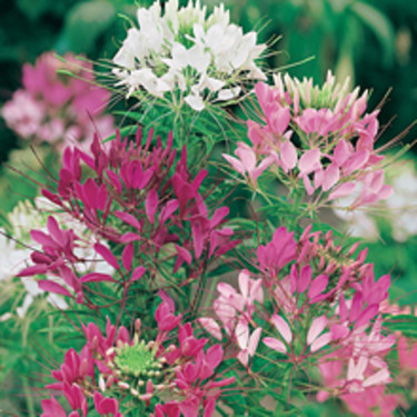 Paradisblomster, _Cleome spinosa_, 'Colour Fountain Mixed'.   Foto: Mr Fothergill's
