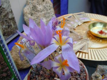 Saffranskrokus, _Crocus sativus_. Foto: Sylvia Svensson