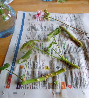 Färdigklippta sticklingar. Ta bort ev. blomknoppar!Foto: Sylvia Svensson