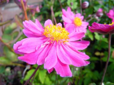 _Anemone hybrida_ 'Pamina'. Foto: Sylvia Svensson