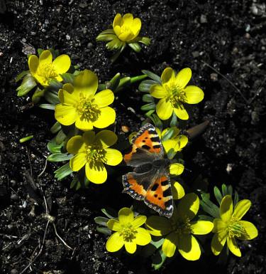 De första vårblommorna blommar och fjärilarna börjar vakna. Foto: Sylvia Svensson