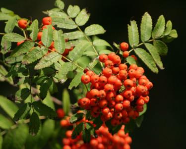 _Sorbus aucuparia_.
