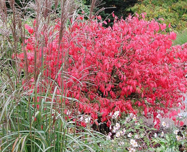 Vingbenved med japanskt gräs. Foto: Sylvia Svensson