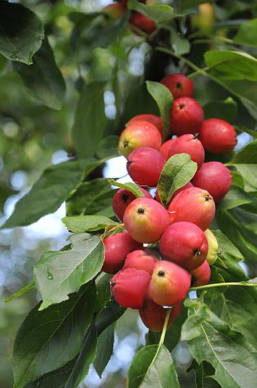 Vackert pelaräppelträd, _Malus_, 'Polka' passar fint i en liten trädgård. Foto: Sylvia Svensson