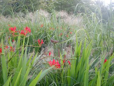Montbretia med gräs. Kungsliljornas mörka frökapslar är också vackra.Foto: Bernt Svensson