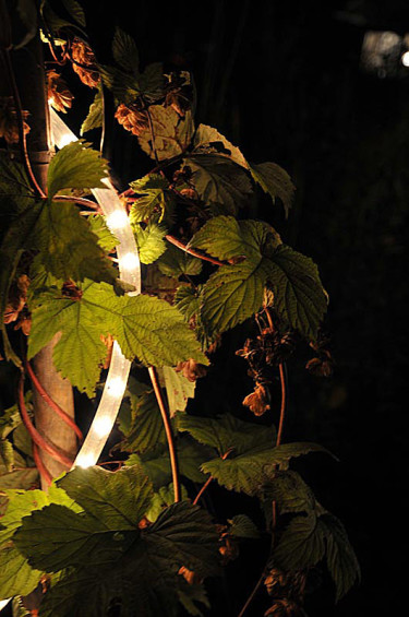 Humle med ljusslinga i höstträdgårdenFoto: Bernt Svensson