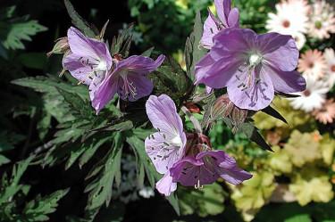 _Geranium_ 'Purple Haze'.