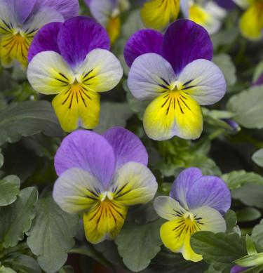 Pensé, _Viola_ (Tricolor-Gruppen), 'Deltini Blue with Purple wing'.  Foto: Blomsterfrämjandet/Syngenta