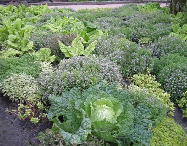 Potager med kryddväxter och kål. Foto: Sylvia Svensson