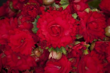 Maffig närbild på begonian 'Grace' blommor.  Foto: Koppe