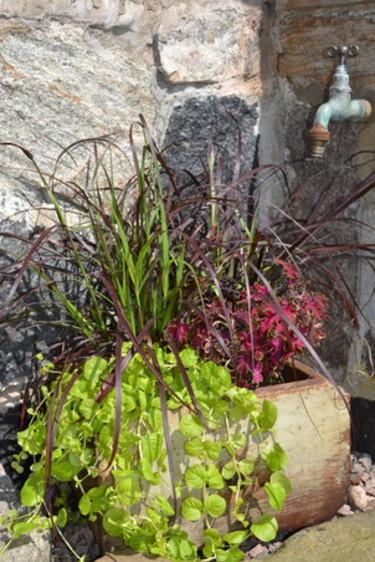 Fjäderborstgräs, _Pennisetum setaceum_, 'Rubrum', gult penningblad och palettblad.  Foto: Blomsterfrämjandet