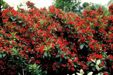 'Red Prince' har ett kompakt växtsätt och är härdig i zon 4–5. Foto: PPH