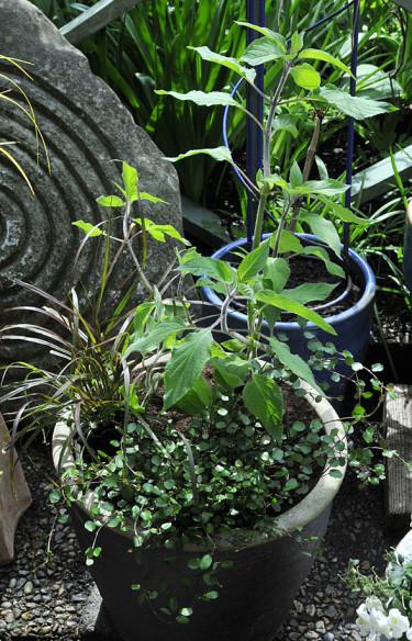 Färdigplanterad kruka - här med växter med purpurfärgade stjälkar.  Foto: Bernt Svensson