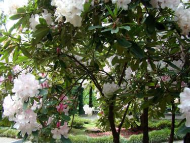 Ett litet rododendrondträd.