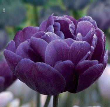 Tulipa 'Blue Danube'. Foto: Odla.nu