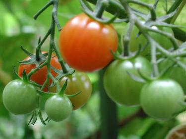 Söt, kinesisk tomat 'Mei Wei' på min balkong. Foto: Sylvia Svensson