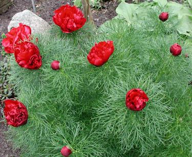 Röd, dubbel dillpion. Foto: Sylvia Svensson