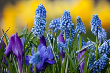 Pärlhyacinter och krokus inleder vårsäsongen! Foto: Blomsterfrämjandet/IBC