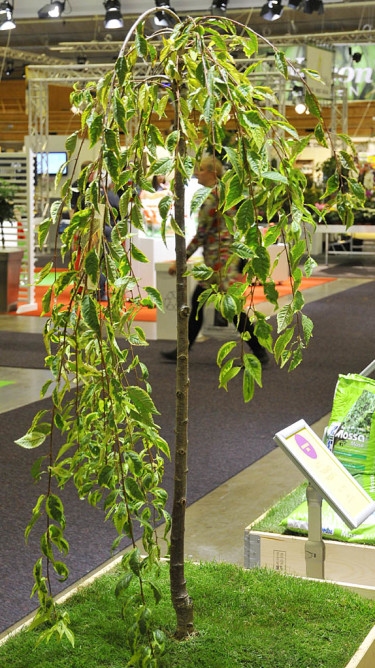 Prunus 'Frilly Frock' från Boweco Foto: Sylvia Svensson