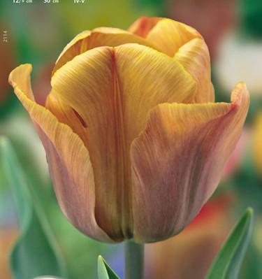 Tulipa 'Cairo'. Foto: Odla.nu
