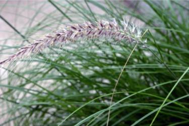 Fjäderborstgräs, _Pennisetum setaceum_, med sina skira borst. Foto: Blomsterfrämjandet
