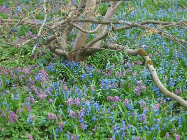 Blåstjärnor,_Scilla sibirica_, och nunneört, _Corydalis solida_, i trädgårdslunden på våren.  Foto: Sylvia Svensson