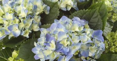 En blå hortensia kan ändra färg om jorden blir för kalkrik.