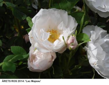 Årets ros 2014 / Foto: Rosens Dag