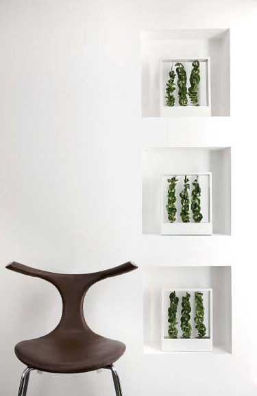 Fönsterkarmens skulptur. _Hoya carnosa_ 'Compacta', porslinsblomma.