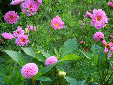 Dahlia 'Pombon Rose' och _Cosmos bipinnatus_ 'Double Rose Bonbon'. Foto: Sylvia Svensson