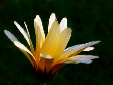 En av få ringblommor som nådde fram till blomning.