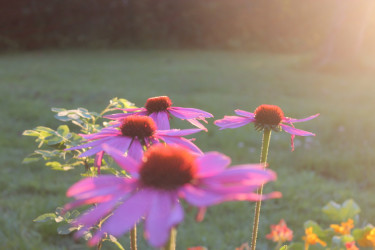 Vackra rudbeckia lyser i kvällsljuset.