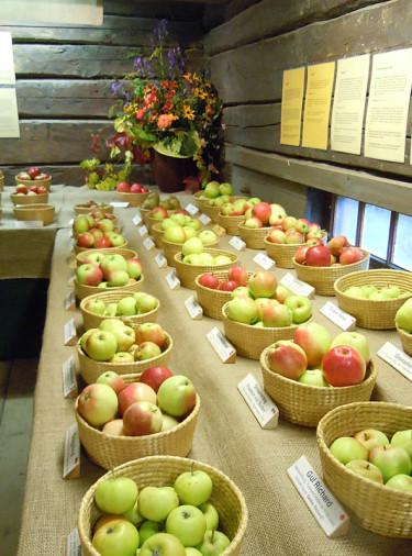 Fina äpplen - kanske behöver trädet beskäras? Foto Sylvia Svensson